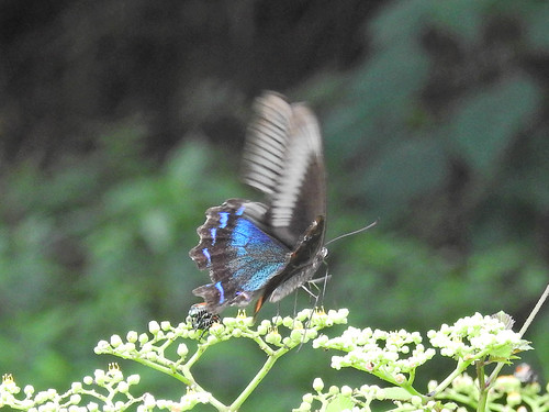 Butterfly(called as Karasuageha), Oiwake Community Woods, Yokohama, Japan