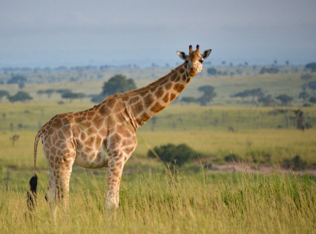 Rothschild's Giraffe, Uganda