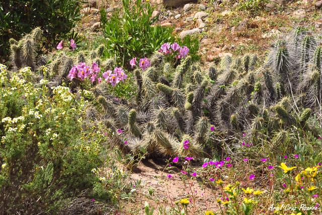 Desierto Florido - Quebrada de Los Choros