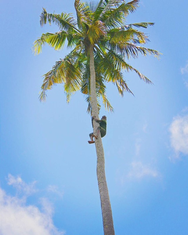 "🌴""How do I get down from here?""🌴  Abdul has been climbing coconut trees his entire childhood, so getting down from here wasn't a problem. This 10 year old kid effortlessly climbed all the way up, twisted off & dropped the coconuts and"