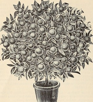 Image result for fruit tree in pot