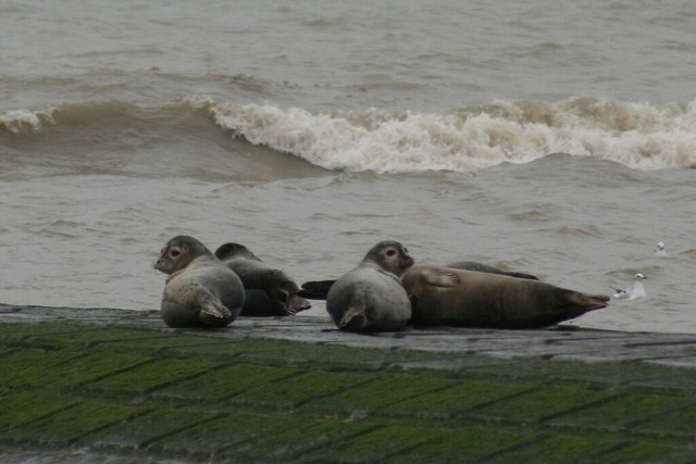 Zeehonden aan de Belgische kust