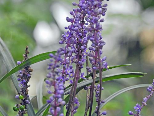 Orchid(called as 'Yaburan'), Isehara, Japan