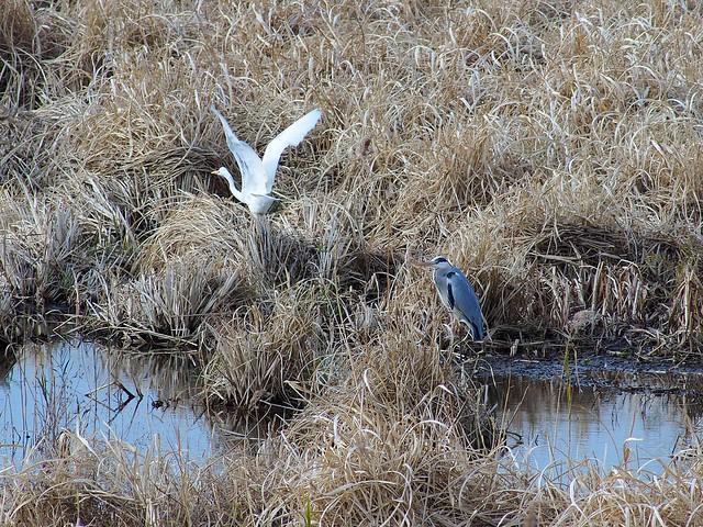 Great egret (ダイサギ) and grey heron (アオサギ)