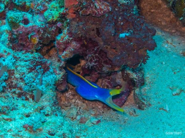 Blue Ribbon Eel, Rainbow Reef, Fiji