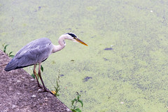 Heron on the towpath