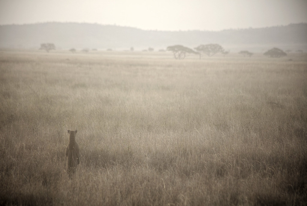 A Leopard taking a peek in Serengeti National Park