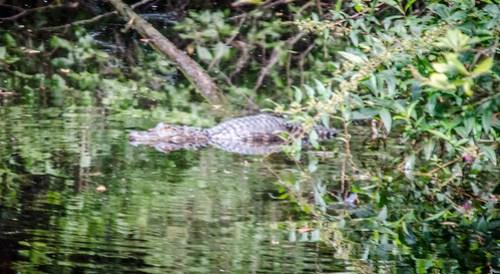 Alligator at Woods Bay
