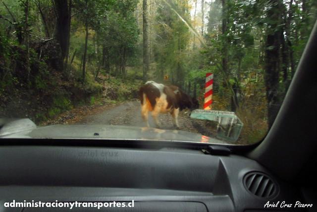 Vaca en Ruta Carhuello