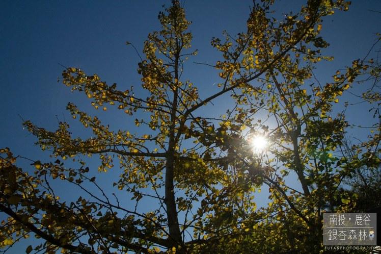 銀杏森林17