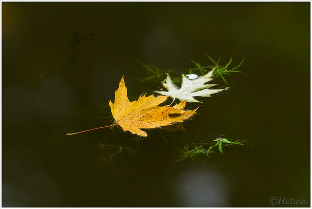 drijvende bladeren (7D032228)
