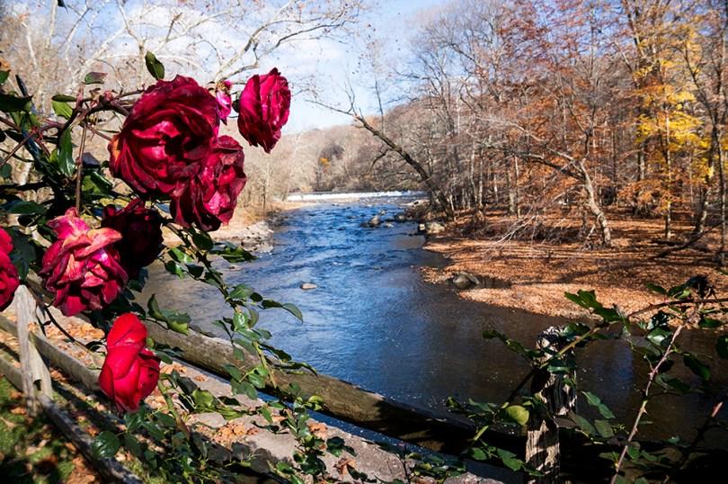 hagley-roses