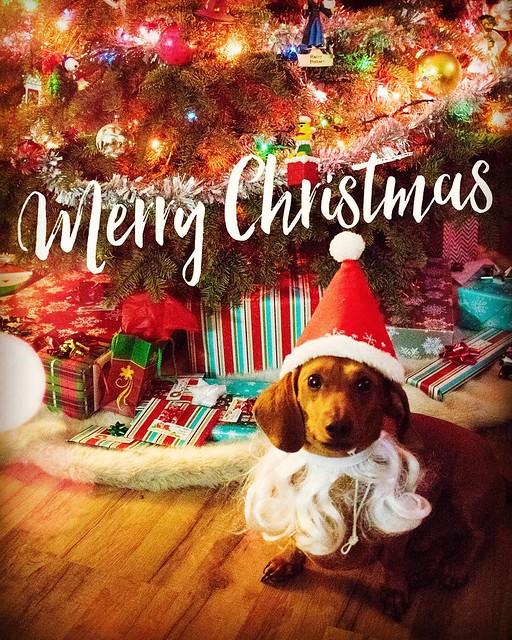 Merry Christmas from @mrbigthedoxie ! #mrbig #dachshund #doxie #weeniewithaweenie #christmasweenie