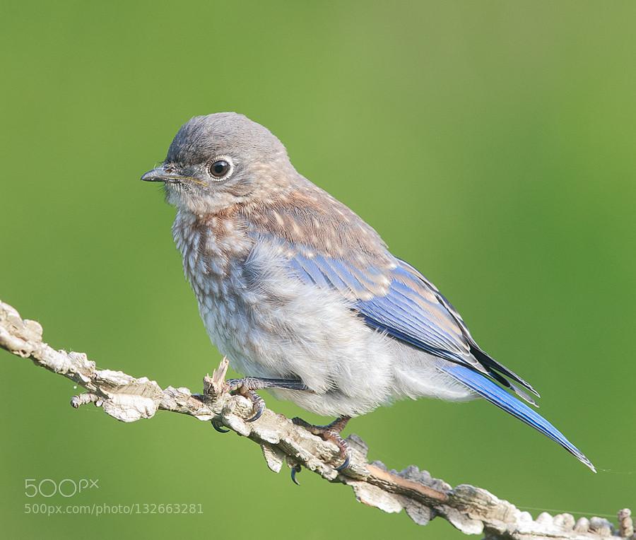 Eastern Bluebird Baby By Elizabethe Kevin Seawright S