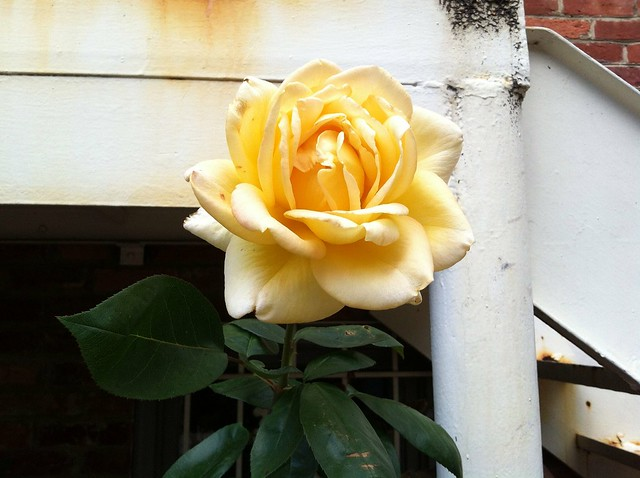 Yellow rose of shaw
