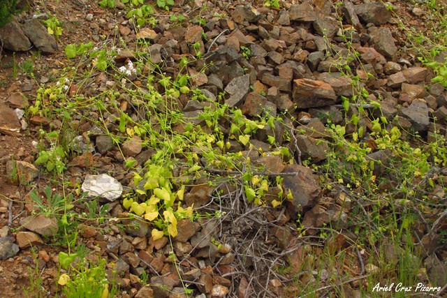 Calabazín - Desierto Florido