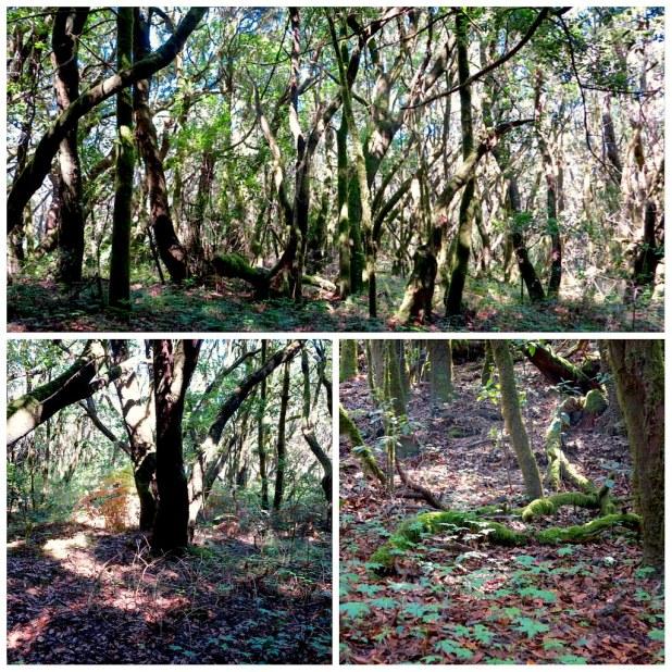 Bosque Laurisilva La Gomera