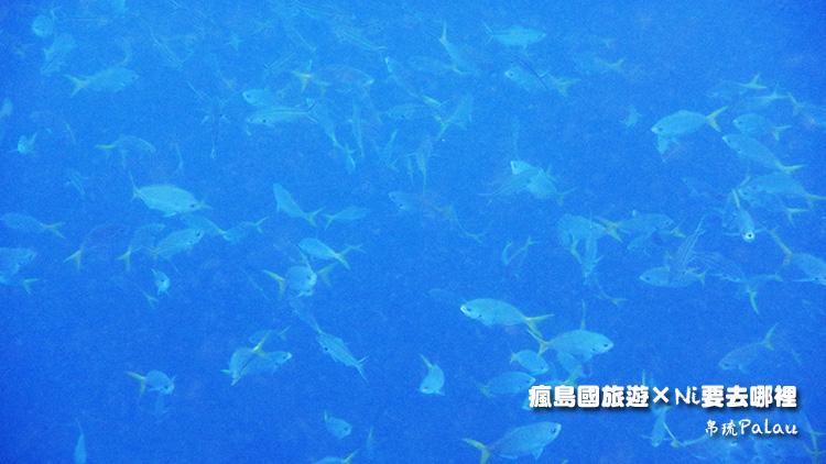 42帛琉戰機魚類