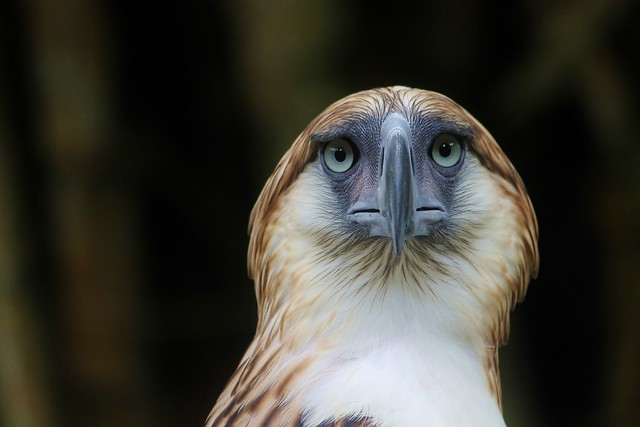 Mindanao the Philippine Eagle