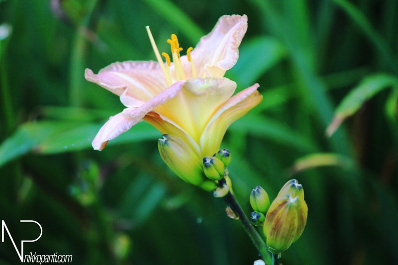 Flowers Nikko Panti Misterbaks 1