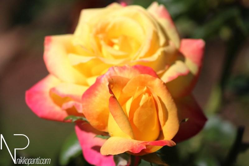 Flowers Nikko Panti Misterbaks 7