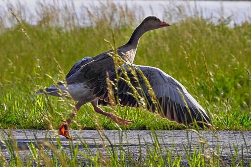 Run or fly! Greylag goose A nyári lúd (Anser anser)
