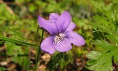 Wild blue violet