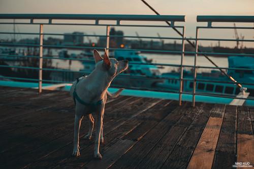 有品味的小狗兒,正欣賞夕陽的光景。