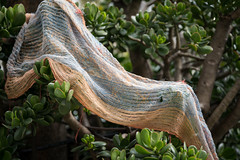 Scarf left behind on a jade plant