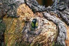 Sýkora koňadra (Parus major)