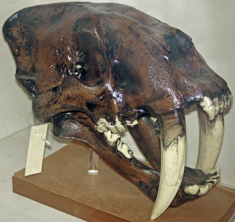 medium resolution of  saber toothed tiger la brea asphalt pleistocene