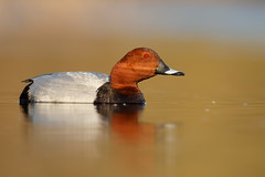 Common Pochard | brunand | Aythya ferina