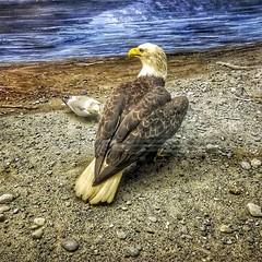 The bald eagle isn't nearly as bald as the condor