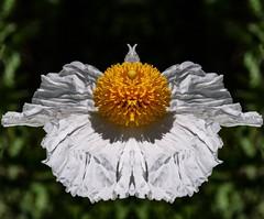 MATILIJA POPPY OR FRIED EGG PLANT, ROMNEYA COULTERI, CALIFORNIA