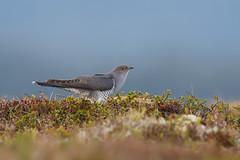 Common Cuckoo | gök | Cuculus canorus