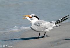 SONY-ILCE-A9, Royal Tern, DSC01966 , 1-3200 , f-8, ISO 400, 100-400@424mm