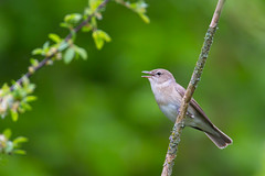 Garden Warbler | trädgårdssångare | Sylvia borin