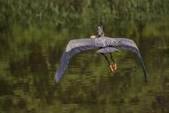 Grand héron (3-3) - Great Blue Heron - Ardea herodias