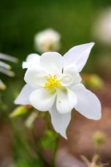 White Columbine- State Flower of Colorado, US.