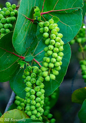 SONY-ILCE-A9,  Sea Grapes,   DSC02037 , 1-2000 , f-6.3, ISO 1250, 100-400@140mm