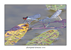 Red-eyed Damselflies ovipositing