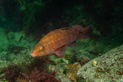 "Ballan Wrasse (Labrus bergylta) • <a style=""font-size:0.8em;"" href=""http://www.flickr.com/photos/51511072@N04/48109357858/"" target=""_blank"">View on Flickr</a>"