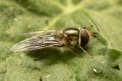 European hoverfly (lat. Eristalis pertinax)