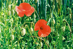 ancient colours of modern poppies