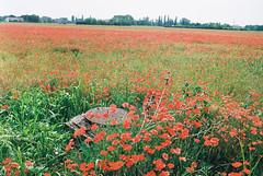 Poppies meeting