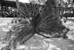 Monochrome peacock