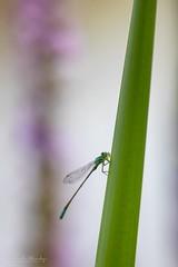 Šidélko (Ischnura elegans)