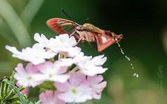 Sphinx colibri en train de faire pipi en vol / Hummingbird clearwing Having a Pee in Flight [Hemaris thsybe]