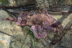 Small red scorpionfish (Scorpaena notata)
