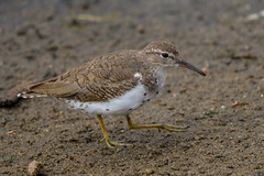 Spotted Sandpiper walking